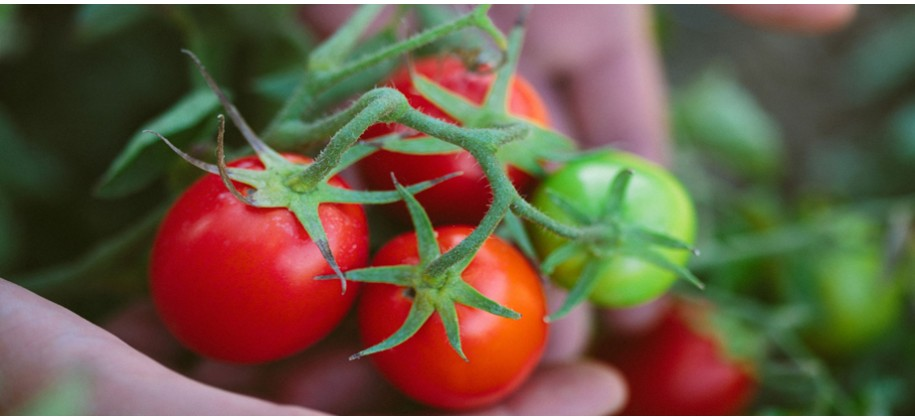 Program de fertilizare  TOMATE